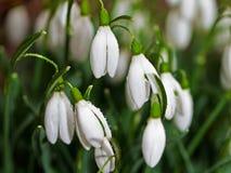snowdrops Royaltyfria Foton