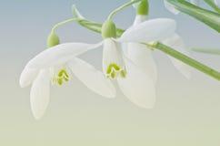 Snowdrops Imagens de Stock