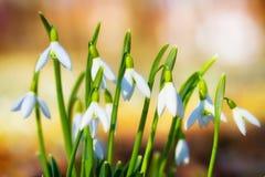 Snowdrops Photographie stock libre de droits