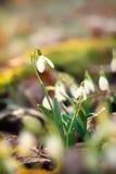 Snowdrops Photo stock