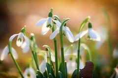 Snowdrops Image stock