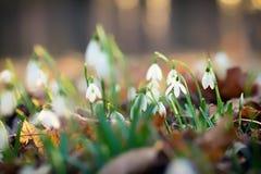Snowdrops Photos libres de droits