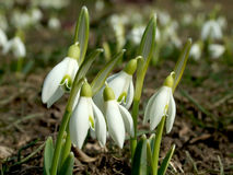 Snowdrops Stock Photos