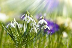 Snowdrops. In the sunlight whit nature background stock images