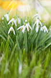 Snowdrops. In the sunlight whit nature background royalty free stock photo