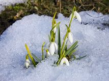 Snowdrops. The first snowdrops among thawing snow Royalty Free Stock Images