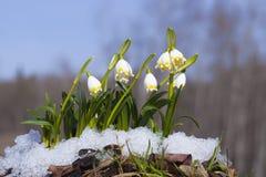 Snowdrops 免版税库存图片