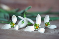Snowdrops. Fresh snowdrops picked from garden waiting to be part of a bouquet Royalty Free Stock Photos