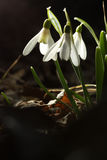Snowdrops Στοκ εικόνα με δικαίωμα ελεύθερης χρήσης