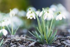 Snowdrops Foto de archivo libre de regalías