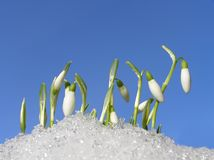 Free Snowdrops Royalty Free Stock Images - 4148949