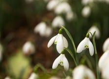 snowdrops Foto de Stock Royalty Free