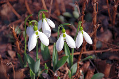 Snowdrops. Four white snowdrops close up on dry leaves Royalty Free Stock Photography