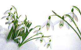 snowdrops Fotografía de archivo libre de regalías