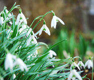 Snowdrops Photo stock