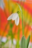 snowdrops Imagen de archivo
