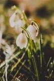 snowdrops Fotos de archivo libres de regalías
