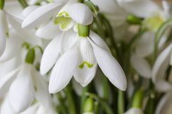 snowdrops Imagem de Stock