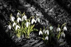 snowdrops Arkivfoton