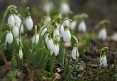 Snowdrops. Group of snowdrops blooming in March Royalty Free Stock Photo