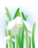 Snowdrops. White snowdrops vector illustration