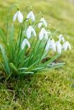 Нежные snowdrops весны Стоковое Изображение RF