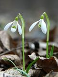 Snowdrops. In forest royalty free stock images