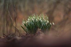 snowdrops Royaltyfria Bilder