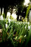 Snowdrops. Spring snowdrops with sunlight bursting through the trees Royalty Free Stock Photo