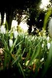 Snowdrops Photo libre de droits