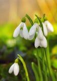 snowdrops Imagens de Stock Royalty Free
