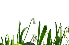 Snowdrops. Royalty Free Stock Photo
