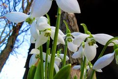 snowdrops Fotos de Stock Royalty Free