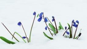 snowdrops Stock Foto