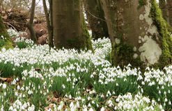 snowdrops Photos stock