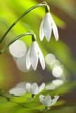 Snowdrops. (Galanthus nivalis) - first spring flowers Stock Photos