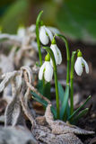 snowdrops Lizenzfreies Stockfoto
