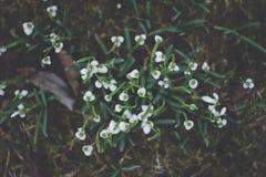 snowdrops Stockbild