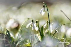 snowdrops Στοκ Εικόνα