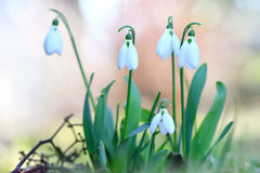 snowdrops Стоковое Фото