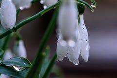 snowdrops Stock Fotografie