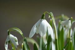snowdrops Royaltyfri Bild