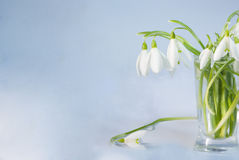 Snowdrops. First spring flowers snowdrops in the vase royalty free stock photo