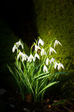Snowdrops. Altamont Gardens, Tullow, Co. Carlow Stock Photography