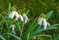 Snowdrops, as primeiras flores da mola no prado foto de stock royalty free