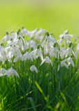 Snowdrops. An attractive bunch of snowdrops growing in long, plush grass against a pleasing spring green background Royalty Free Stock Images