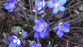 Snowdrops azuis com em abril dentro a floresta seca vídeos de arquivo