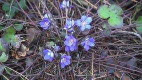 Snowdrops azuis com em abril dentro a floresta seca video estoque