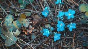 Snowdrops azuis com em abril dentro a floresta seca filme