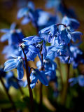 Snowdrops azuis na primavera Imagem de Stock Royalty Free